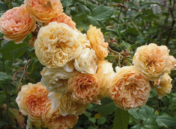 Роза кроун принцесса маргарет