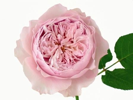Розы дэвида остина купить в спб купить живые мелкие гвоздики цветы