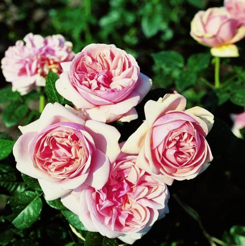 Роза тантау чайно гибридная