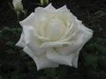 Сорт розы гейша описание