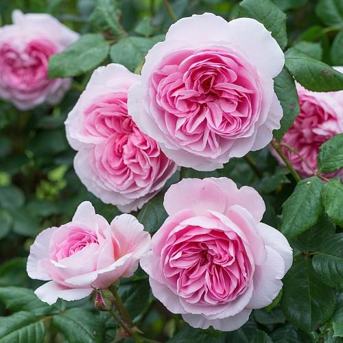 Розы дэвида остина купить в краснодаре где купить цветы из дерева в ростове