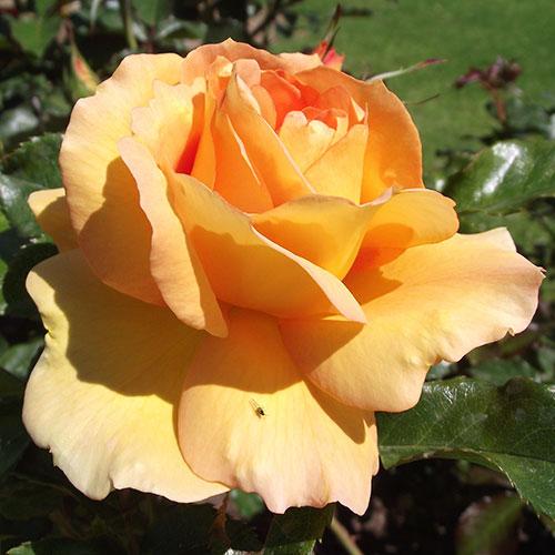 Чайногибридные розы розы плетистые розы