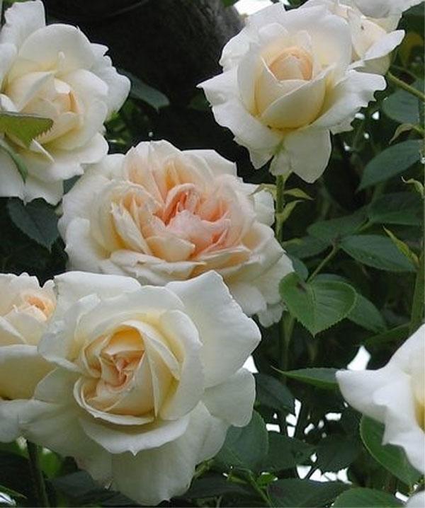 Морозоустойчивые плетистые розы 2