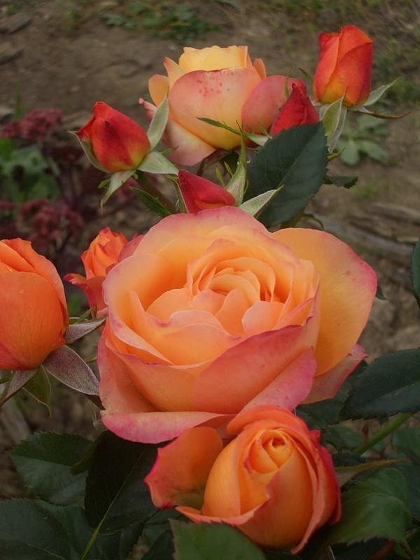 Роза саммер холидей чайно-гибридная