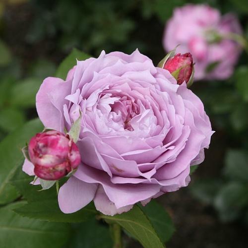 Розы американской селекции купить необыкновенный подарок на 14 февраля