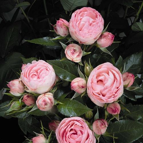 Волгоград купить саженцы пионовидные розы какая наценка на цветы 8 марта