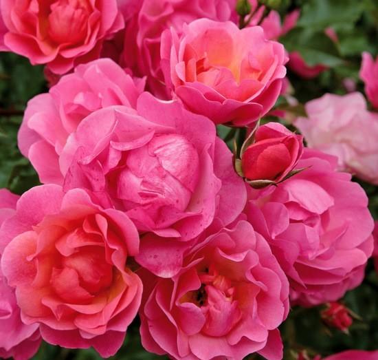 Розы садовые со знаком адр