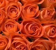 Розы оранжевые фото