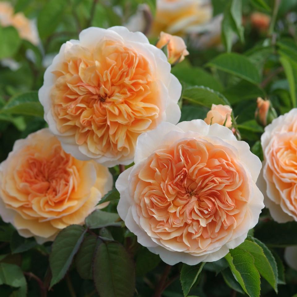 английская роза оливия роуз