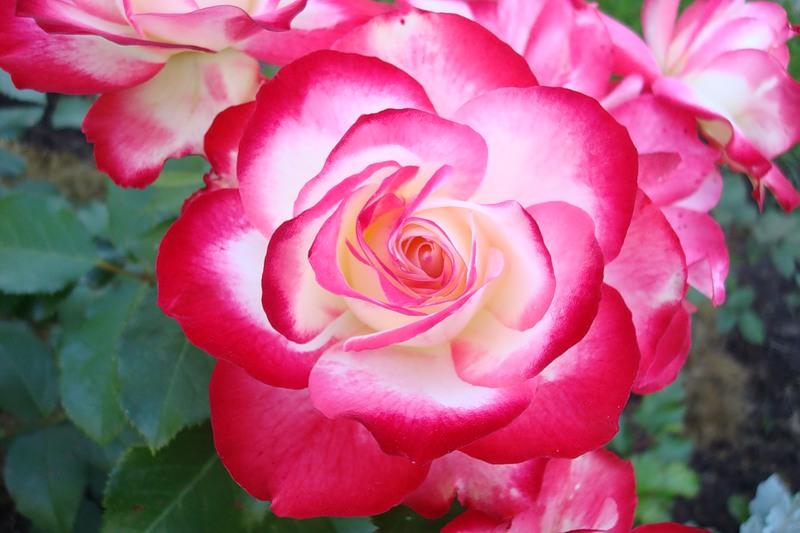 Розы мейланд официальный сайт