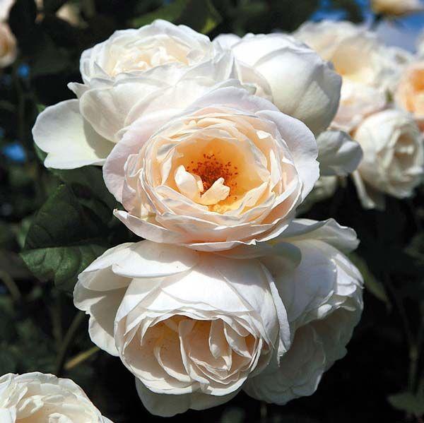 сорта чайно гибридных роз со знаком adr